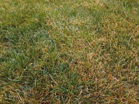 Hrdza trávová