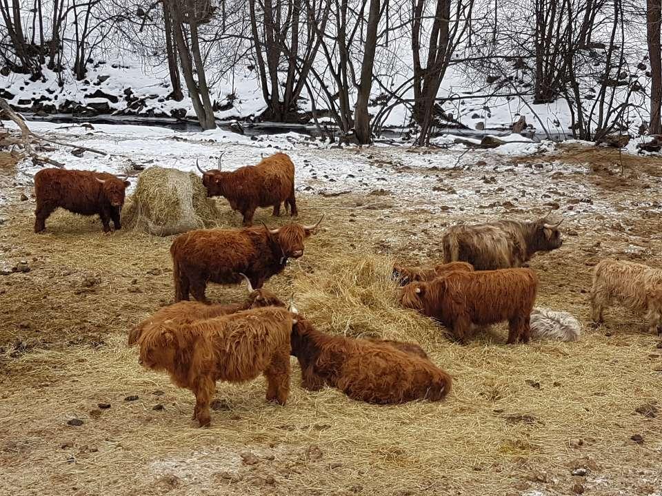Škótsky náhorný dobytok